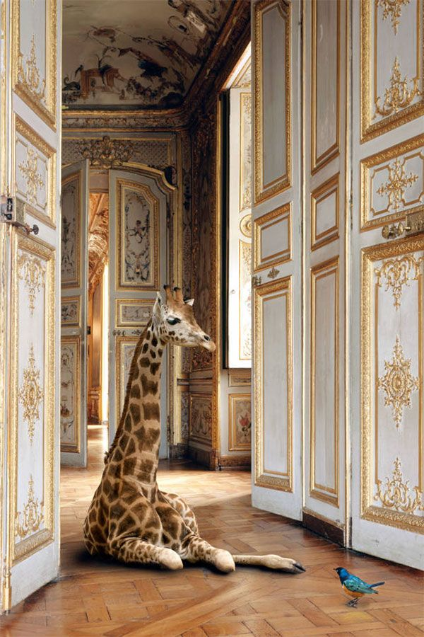 giraffe by karen knorr, via shopping's my cardio
